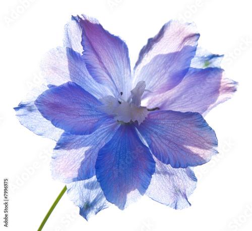 translucent delphinium flower Fototapete