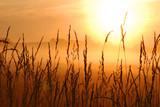 poranek wschód słońca z trawy pszenicy na pierwszym planie - 7998732