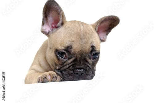 Deurstickers Franse bulldog bouledogue 10