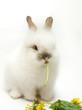 Leinwandbild Motiv White rabbit