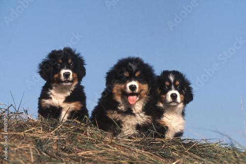Poster de jardin Vache chien > Bouvier bernois