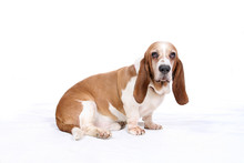 Basset Hound With Long Droopy ...