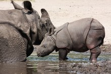 Mother And Baby Indian Rhino