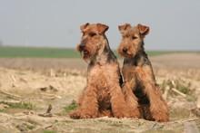 Chien Welsh Terrier Gallois