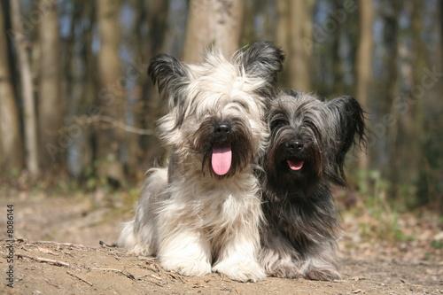 Fotografie, Obraz Skye terrier/terrier d'ecosse