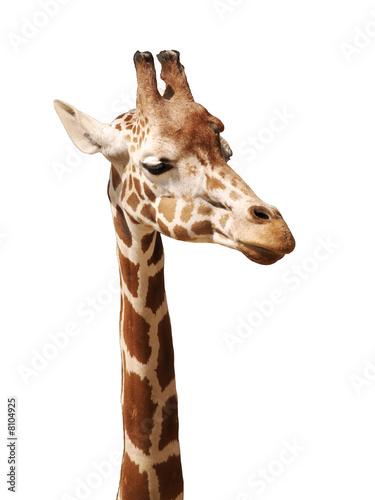 Fototapeta Head of a giraffe