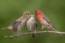 House Finches Feeding