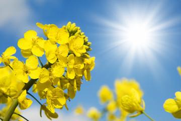 Fototapeta soleil et colza
