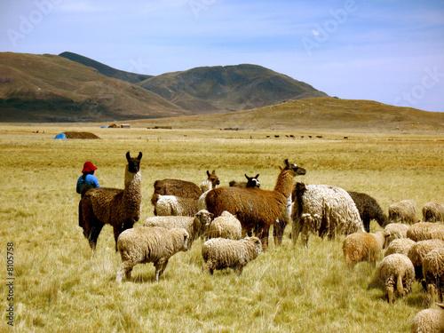 Photo sur Toile Amérique du Sud Llamas and Sheep