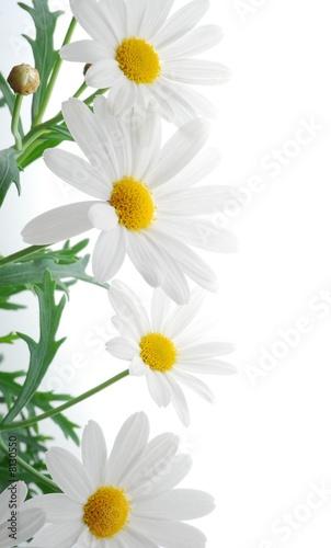 Foto-Duschvorhang - white spring marguerite