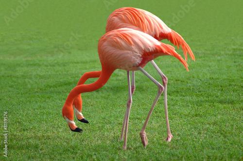 Garden Poster Parrot Couple of Flamingos