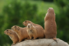 Prairie Dogs On Rock