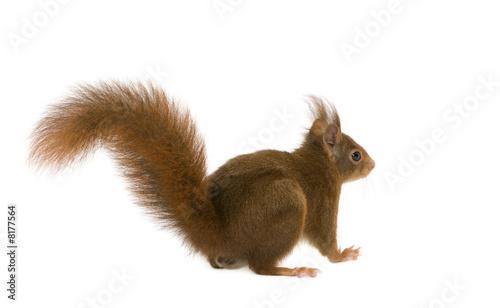 Fotografía  Eurasian red squirrel - Sciurus vulgaris (2 years)