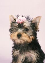 Chien > Yorkshire/ Terrier