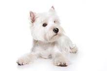 West Highland White Terrier Puppy On White Background