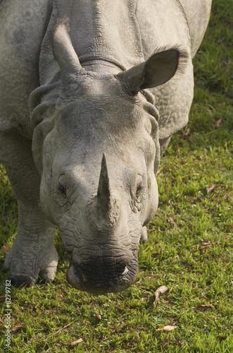 Garden Poster Rhino Asian one horned rhino