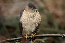 Cooper's Hawk (accipiter Cooperii) Hunting