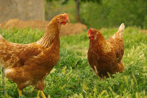 Fotografia Huhn - chicken 07