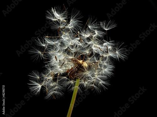 Obraz na plátně dandelion seeds