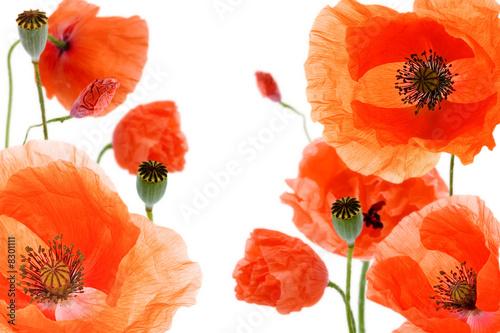 Poster Poppy poppy