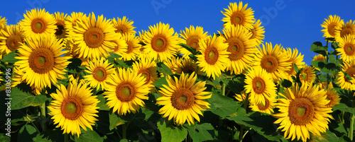 Tournesol champs fleuri