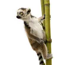 Ring-tailed Lemur (6 Weeks) - ...