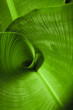 canvas print picture Banana Leaf Curl