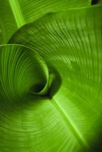 Banana Leaf Curl