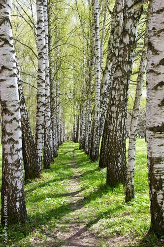 Photo Stands Birch Grove Birch-tree alley