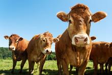 Portrait Of Cows
