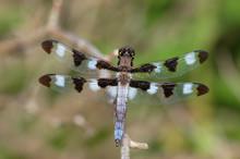 Male Twelve-spot Skimmer Dragonfly