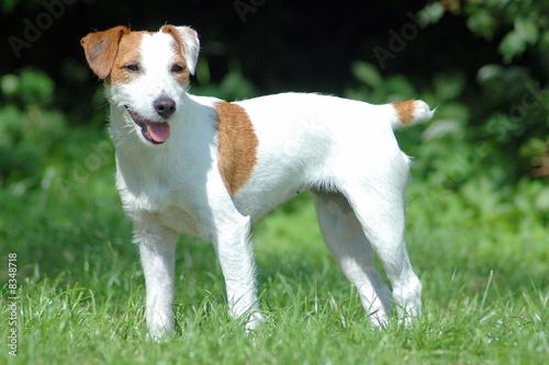 Carta da parati Parson Jack Russell Terrier