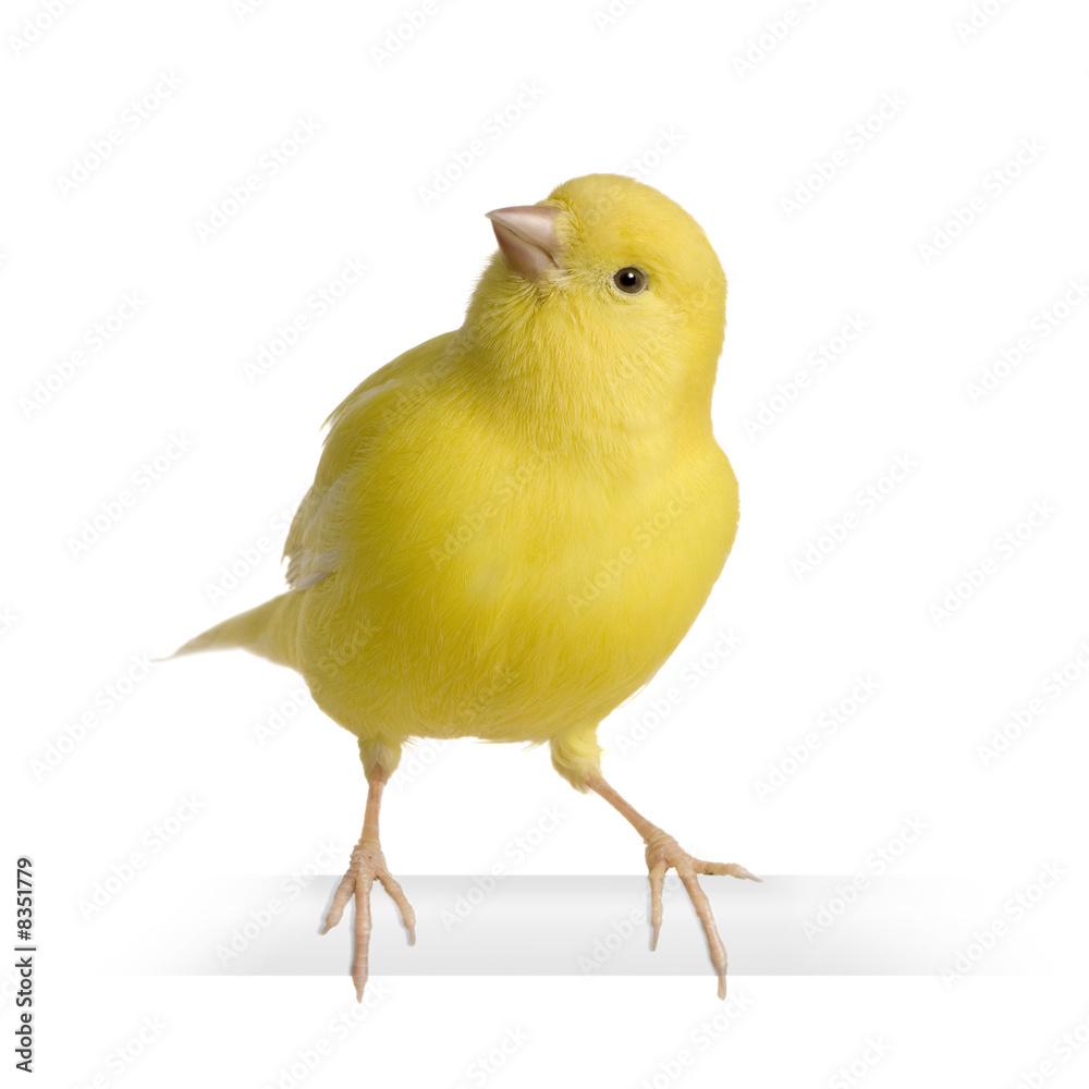 Foto-Flächenvorhang ohne Schienensystem - Yellow canary - Serinus canaria on its perch