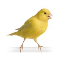 Yellow Canary - Serinus Canari...