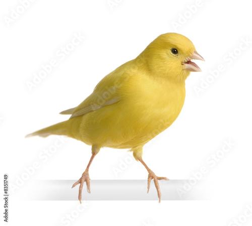 Yellow canary - Serinus canaria on its perch Fototapeta