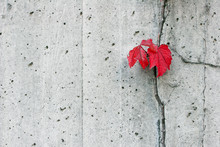 Red Boston Ivy Leaves Contrast Cement Wall