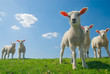 canvas print picture - curious lambs in spring