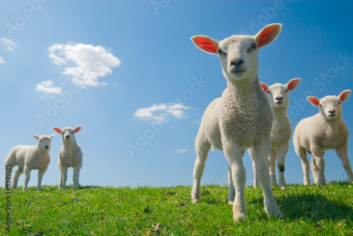 Foto op Canvas Schapen curious lambs in spring