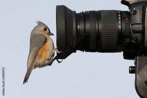 Aufkleber - Tufted Titmouse (baeolophus bicolor) on a camera lens