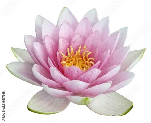 Foto-Schiebegardine ohne Schienensystem - fleur de lotus sur fond blanc