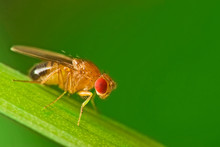Male Fruit Fly (Drosophila Mel...