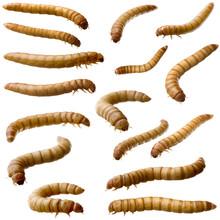 16 Larva Of Mealworm - Tenebri...