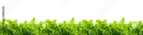 Cuadros en Lienzo lettuce