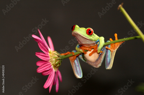 Spoed Foto op Canvas Kikker tree frog on a flower