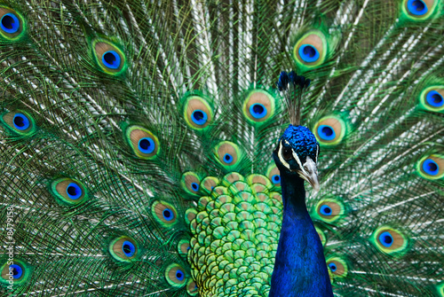 Foto op Plexiglas Pauw beautiful male indian peacock