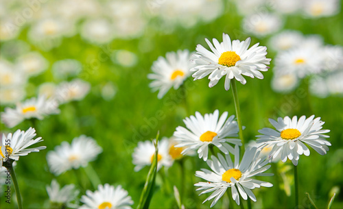 Spring flowers marguerites in a grean meadow