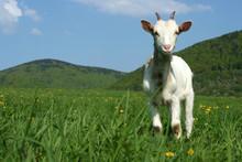 Baby Goat In Pasture