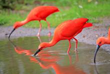 Scarlet Ibis (Eudocimus Ruber)...