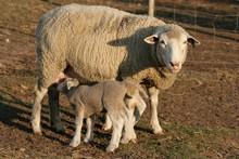 Sheep Lamb And Ewe