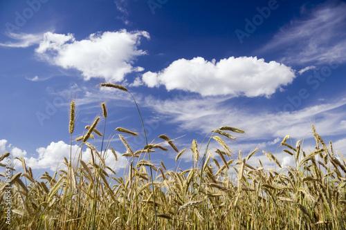 Foto-Kissen - Getreidefeld (von ArtHdesign)